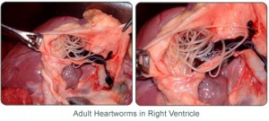 Adult heartworms in right ventricle