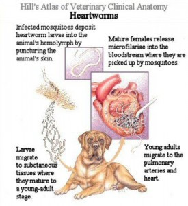 Diagram of life cycle of heartworm